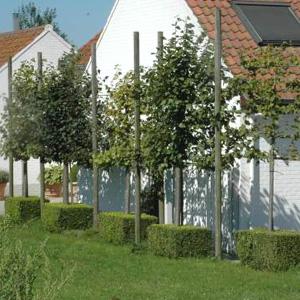 tilleul petites feuilles plantons le d cor. Black Bedroom Furniture Sets. Home Design Ideas