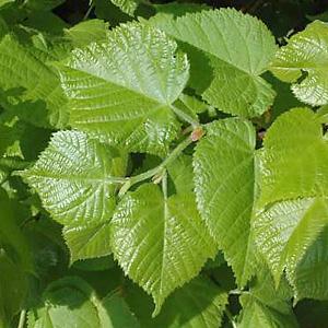 Tilleul grandes feuilles plantons le d cor - Tilleul a grandes feuilles ...