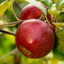 Fruitiers plantons le d cor - Quoi planter en juillet ...